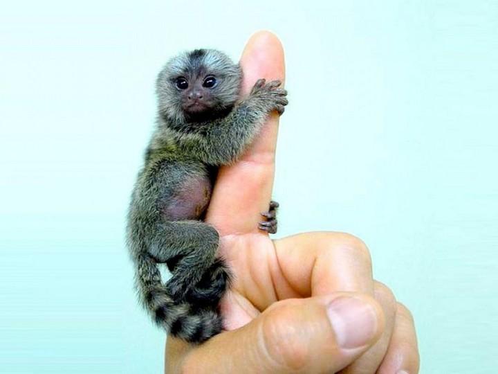 finger-monkey-1