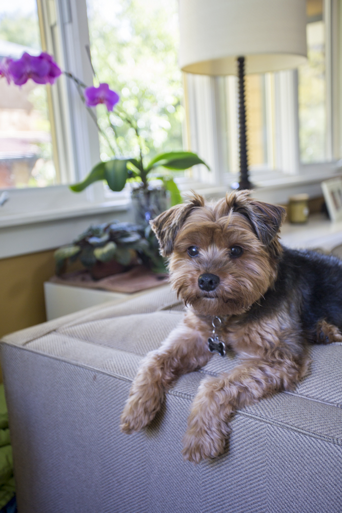 Silk Yorkshire Terrier