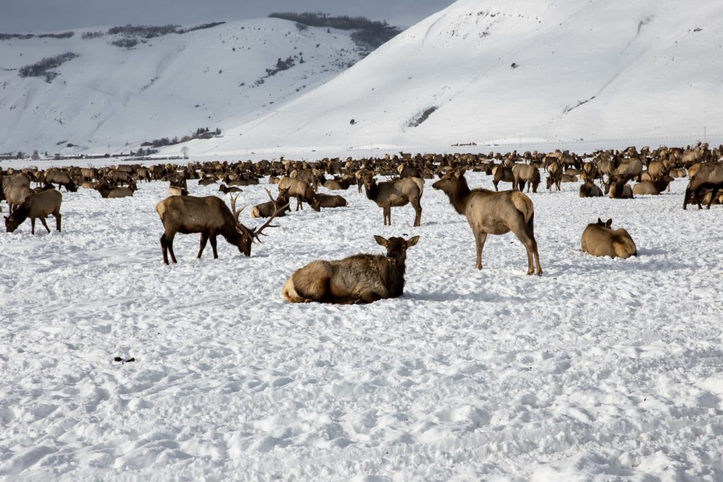 Elk Refuge in Jackson Hole, WY